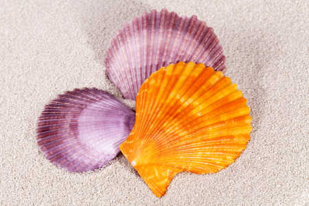 Colorful sea shells of  mollusk on the  sand, close up