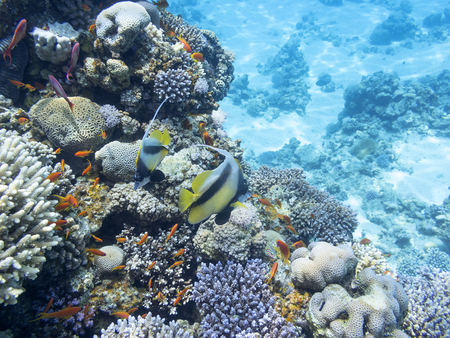 Coral reef with exotic fishes Anthias and Schooling bannerfish at the bottom of tropical sea, underwater