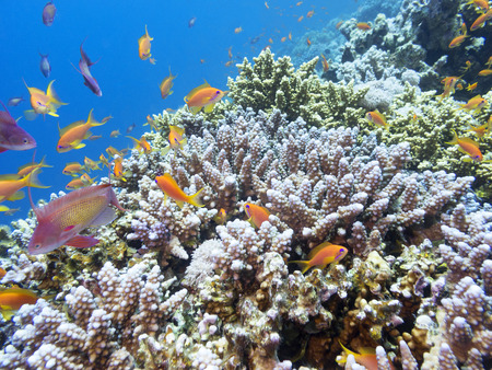 Coral reef with exotic fishes Anthias at the bottom of tropical sea, underwater