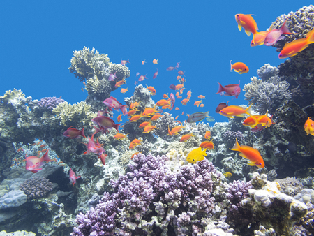 Colorful coral reef with shoal of fishes scalefin anthias at the bottom of  tropical sea, underwater