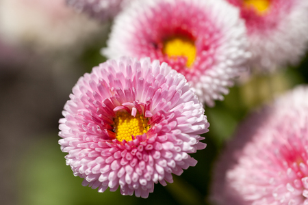 Flowers of dais (Bellis flower), white, pink, blooming in the meadow, close up.Bellis is a genus of flowering plants in the sunflower family Stock Photo