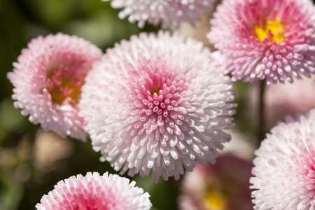 Flowers of dais (Bellis flower), white, pink, blooming in the meadow, close up.Bellis is a genus of flowering plants in the sunflower family Reklamní fotografie