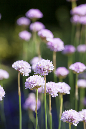 Sea thrift (Armeria maritima), flowers blooming in a meadow. It  is a species of flowering plant in the family Plumbaginaceae.