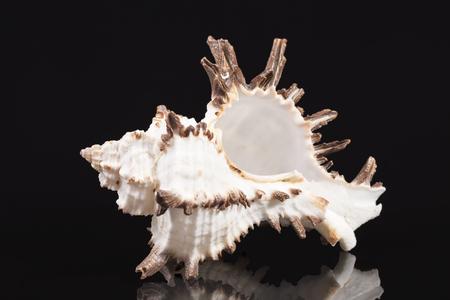 Sea shell of predatory sea snail Chicoreus ramosus isolated on black background, reflection