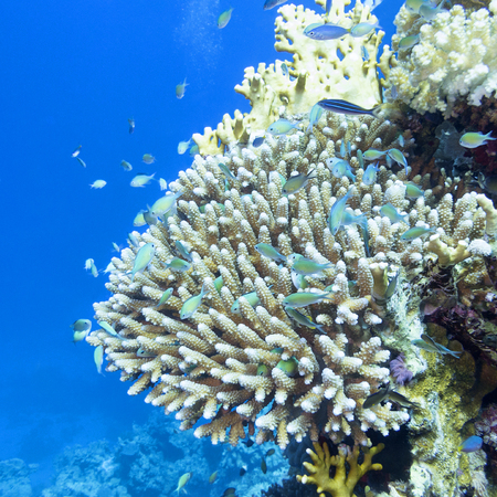 Coral reef with hard corals ,fishes chromis caerulea  at the bottom of tropical sea, underwater Stock Photo