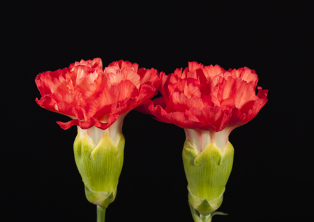 Flower of red carnation (Dianthus caryophyllus) isolated on black  background