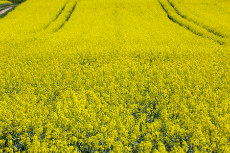 Field of blooming canola, rapeseed yellow flowers.