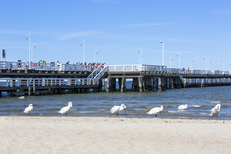 SOPOT, POLAND - JUNE 6, 2018: Group of swans on the sandy beach, close to the Sopot pier Editorial