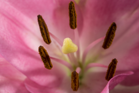Background of ping flower of beautiful pink Lilium, detail