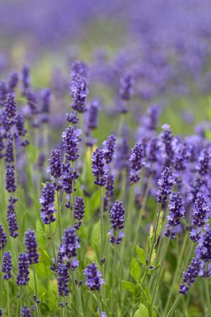 Lavender flowers blooming in the garden, beautiful lavender field Фото со стока