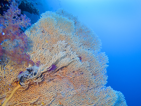 Coral reef with gorgonian on the bottom of tropical sea, underwater landscape Stock Photo