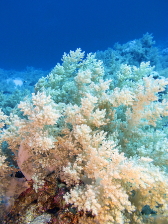 Colorful coral reef at the bottom of tropical sea, yellow broccoli coral, underwater landscape