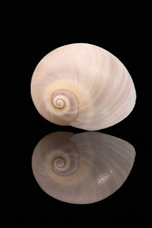 Single sea shell of marine snail isolated on black background, mirror reflection Banco de Imagens