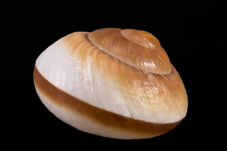 Single sea shell of marine snail isolated on black background, close up