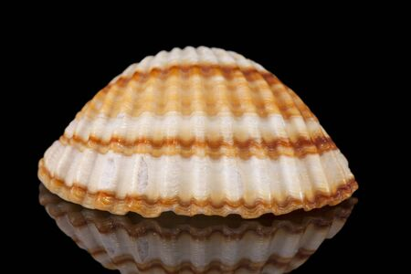 Single sea shell of bivalvia isolated on black background, mirror reflection Banco de Imagens