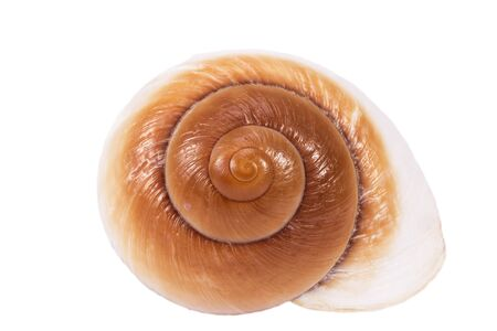 Sea shell of marine snail  isolated on white background, close up