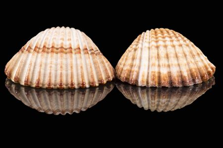 Two sea shells of bivalvia isolated on black background, mirror reflection
