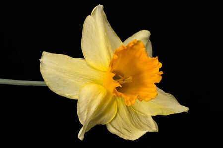 Single flower of daffodil (Narcissus) on black background, close up