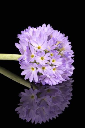 Single spring flower of lilac primula isolated on black background, mirror reflection Stok Fotoğraf