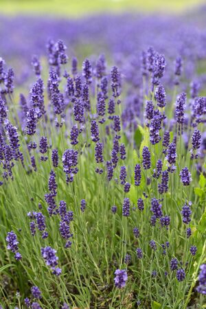 Lavender violet flowers blooming in the garden, beautiful lavender meadow 스톡 콘텐츠