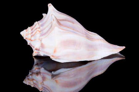 Single sea shell of Aliger gigas known as the queen conch isolated on black background, close up