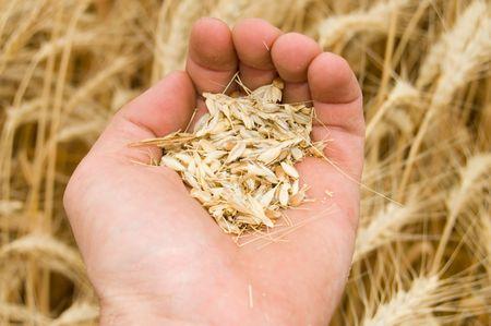 ma�z en la parte m�s nueva cosecha