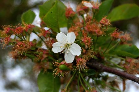 green branch of cherry with one white flower photo