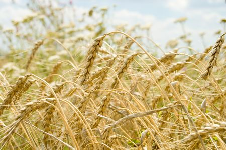 field of ripe wheat gold color south Ukraine photo