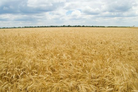 field of ripe wheat gold color south Ukraine Stock Photo - 3488610