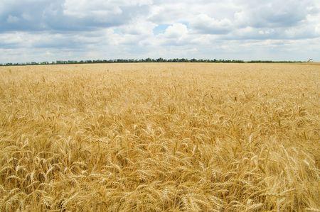 field of ripe wheat gold color south Ukraine Stock Photo - 3488610