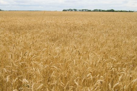field of ripe wheat gold color south Ukraine photo