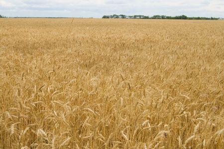 field of ripe wheat gold color south Ukraine Stock Photo - 3488611