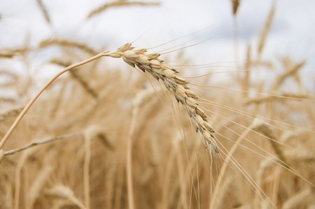 ear of wheat with dark blue sky on a background Stock Photo - 3529514