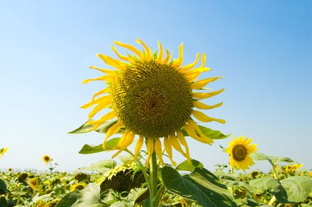 head of flowering sunflower on a background the field and blue sky photo