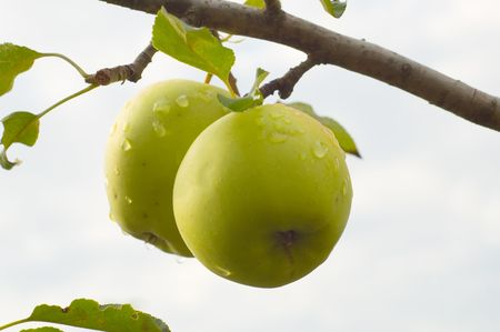 two ripe green apples on a branch photo