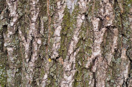 bark of oak as good texture photo