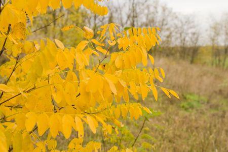 yellow leavs acacia at autumn photo