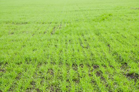 rows of fall wheat photo