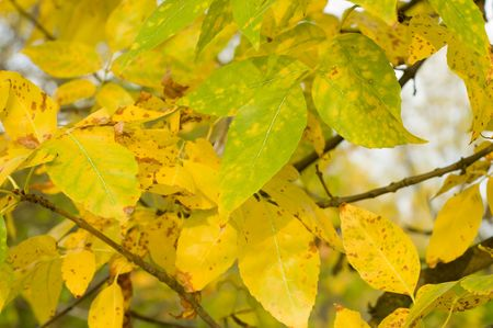 gold leafs at autumn photo