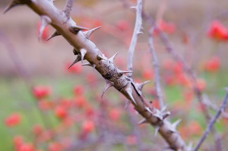thorns of dog rose photo