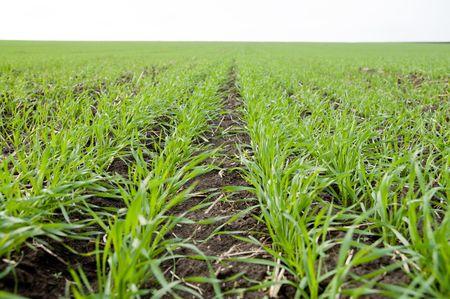 winter-crops Stock Photo - 3815603