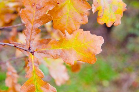 good oak leavs at autumn photo