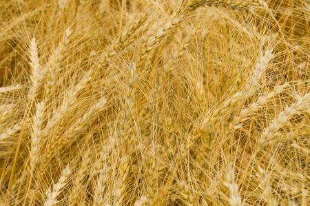 harvest as gold background photo