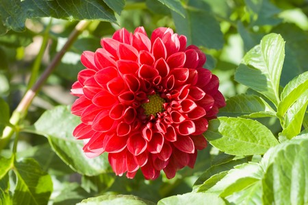 red flower of dahlia in nature photo