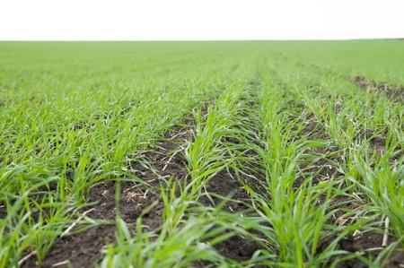 rows of fall wheat Stock Photo - 4034881