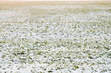 winter wheat under cover of snow photo