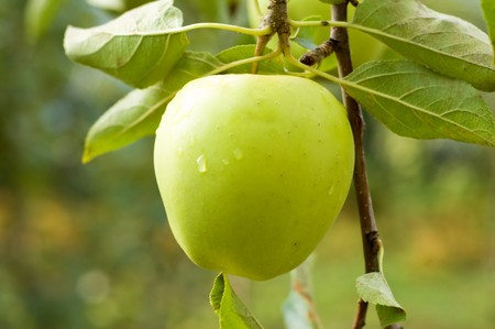 ripe apple of green color on a branch photo