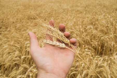 ears of wheat in a hand above the field Stock Photo - 4229461