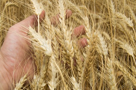 a hand takes the ears of wheat photo