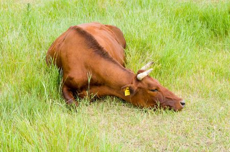 a red steppe cow lies on a grass Stock Photo - 4953022